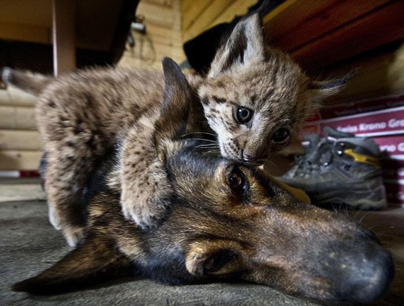 Dog Adopts Three Lynx Cubs