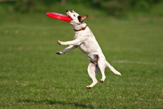 Dogs catching frisbees