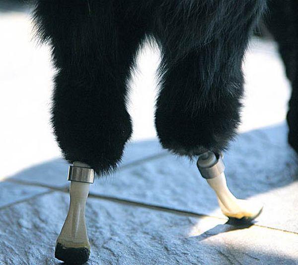 Cat with Prosthetic Legs