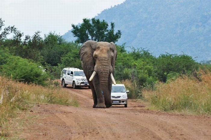 Never Overtake an Elephant