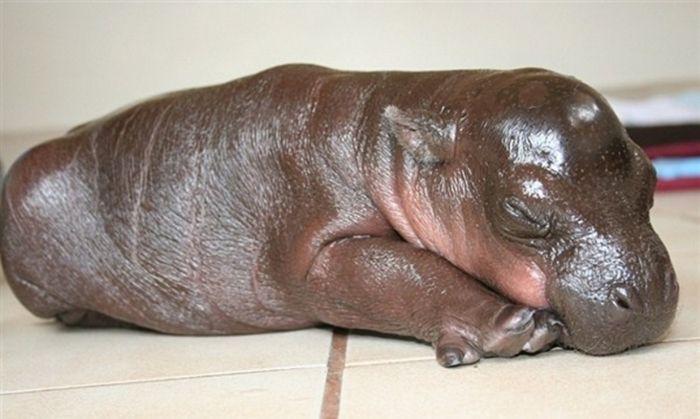 6-Day-Old Hipopotamus