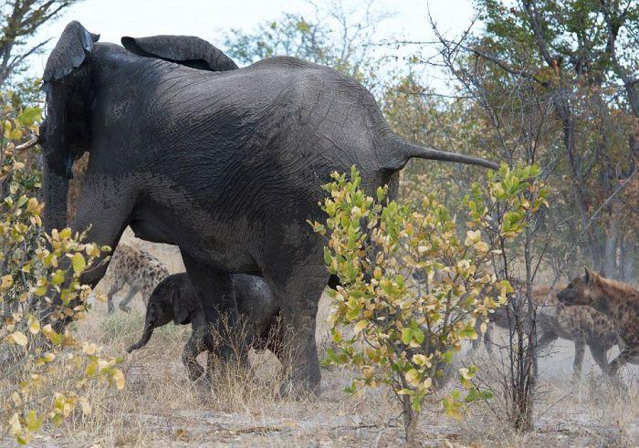 Elephant vs. Hyenas