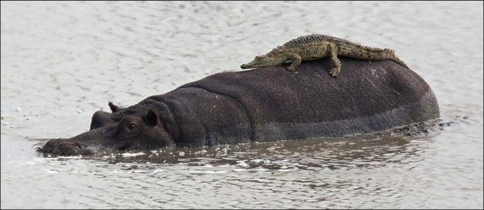 Crocodile Riding Hippo