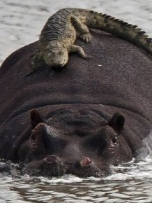 Crocodile Riding Hippo