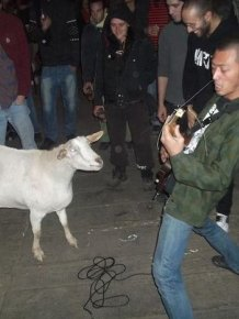 Goat Jamming to Punk Rock