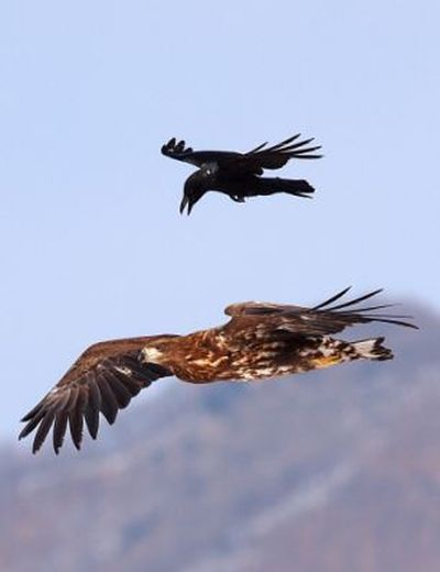 Crow Riding an Eagle