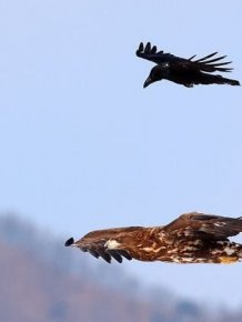 Crow Riding an Eagle