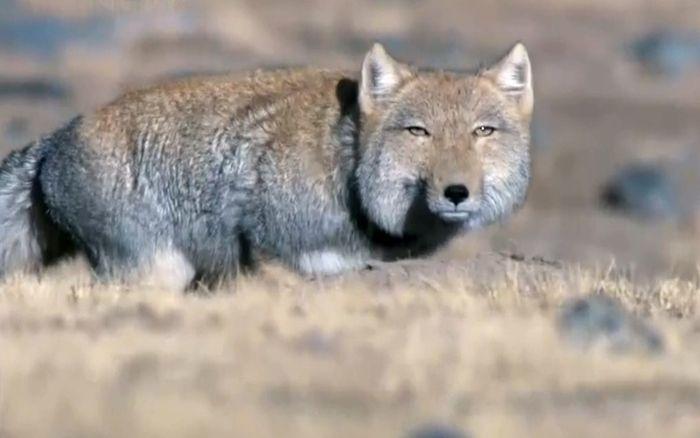 Piercing Stare of the Tibetan Fox