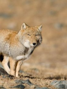 Piercing Stare of the Tibetan Fox