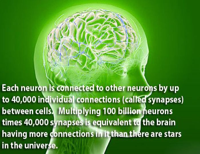 Facts About the Human Brain