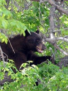 Bear Wanders Around Colorado University Campus