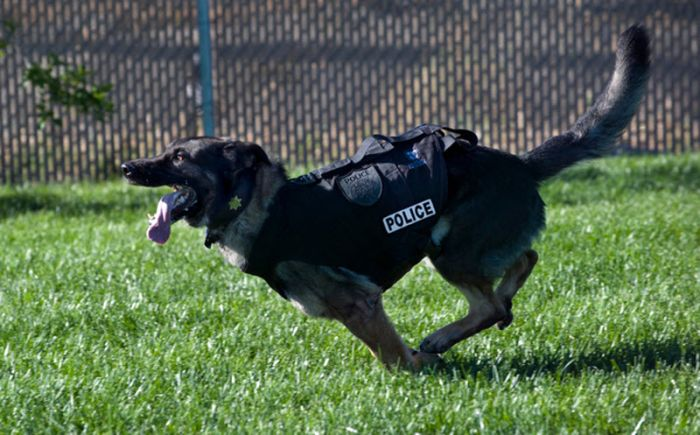 Sacramento Police K-9 Officer Named Bandit