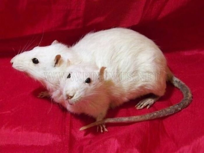 Animals with Two Heads