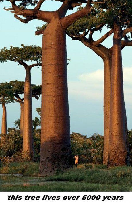 Baobab Tree Is a Wonder of Nature