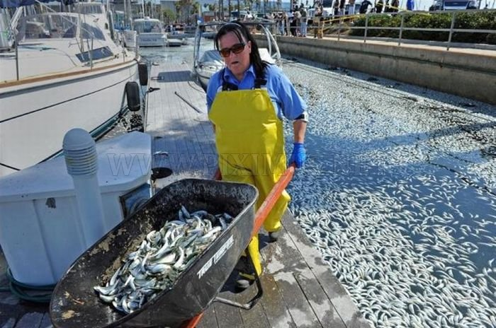 Millions of Dead Fish at King Harbor in Redondo Beach