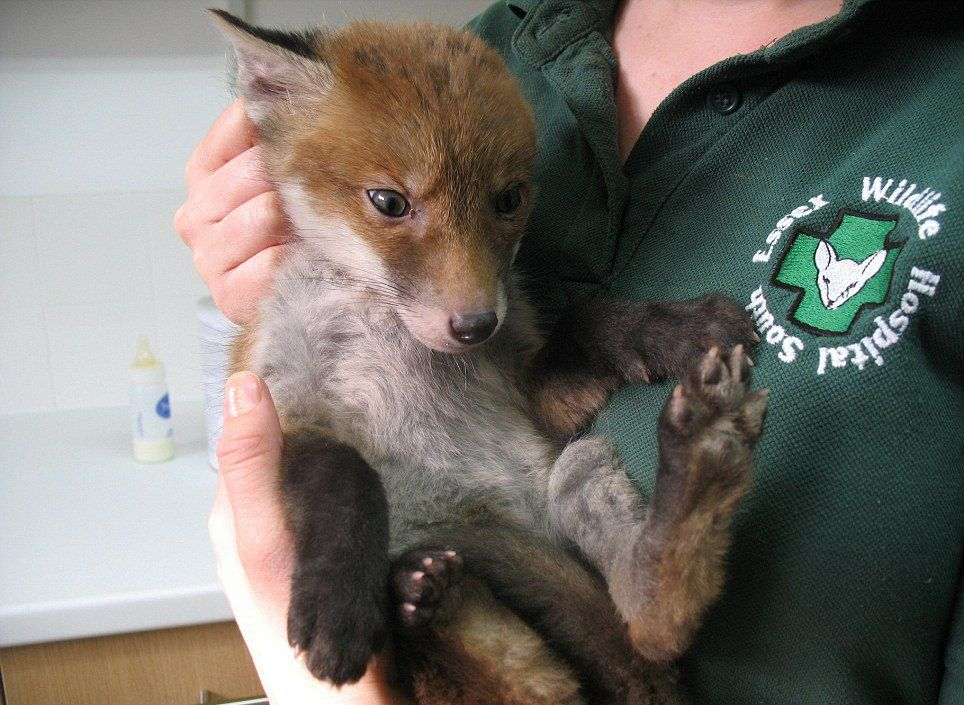 Fox Caked In Mud Rescued from Hole