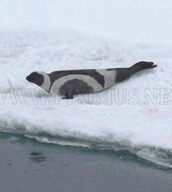 Ribbon Seals