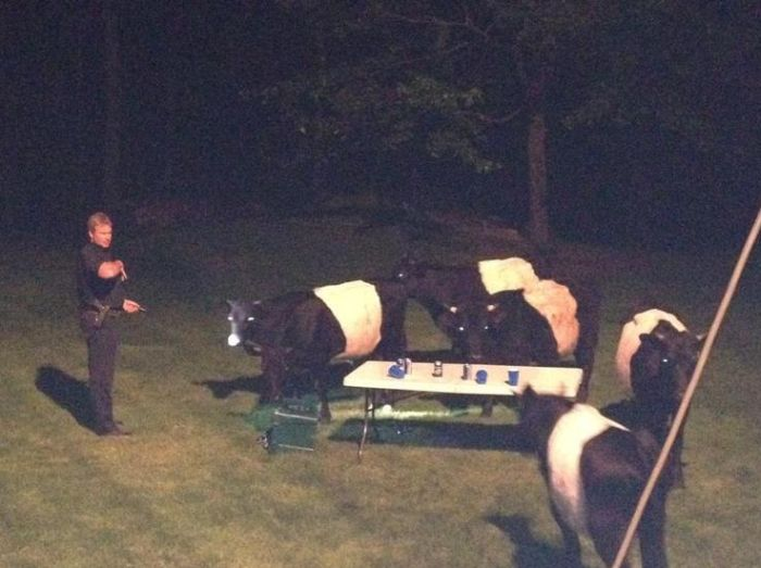 Cows Crashed a Backyard Beer Party