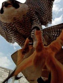 Mother Falcon vs. Researches