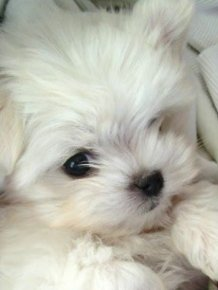 Oscar - cute Maltese puppy