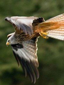 Kite Ducked Goose