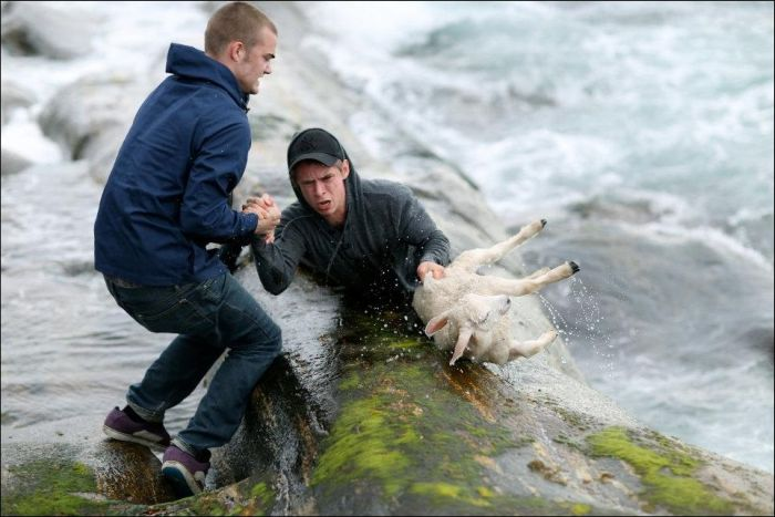 Saving a Lamb That Fell Down into the Sea