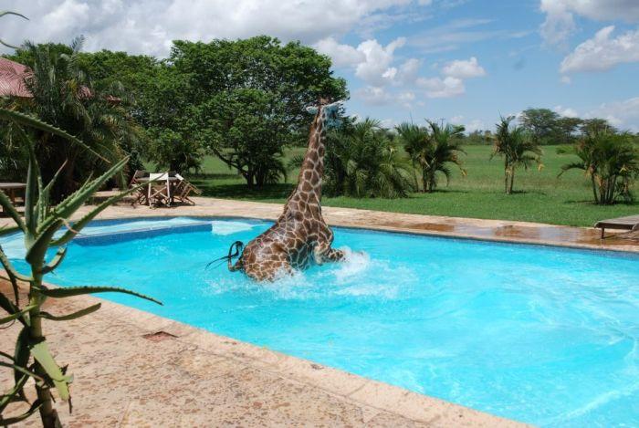 Giraffe Swimming in a Pool