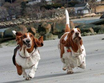 Running Basset Hounds