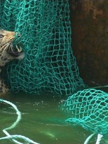 Leopard Rescued by the Net