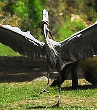 Heron Steals Baby Alligator