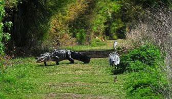 Heron Steals Baby Alligator