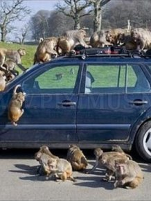 Monkeys Ruined a Car