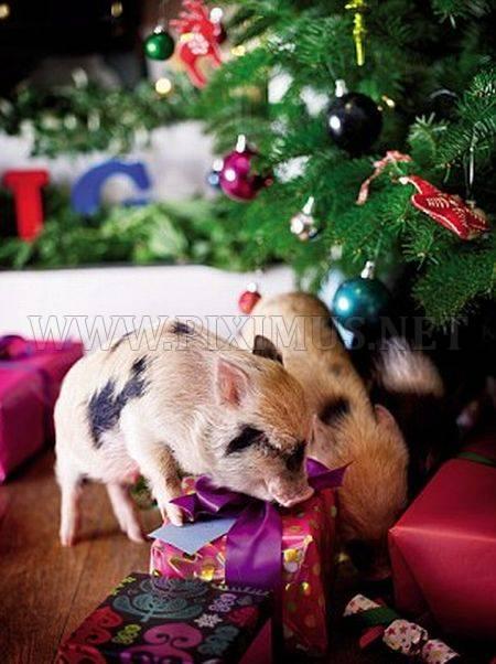 Micro Pigs And Christmas Fun