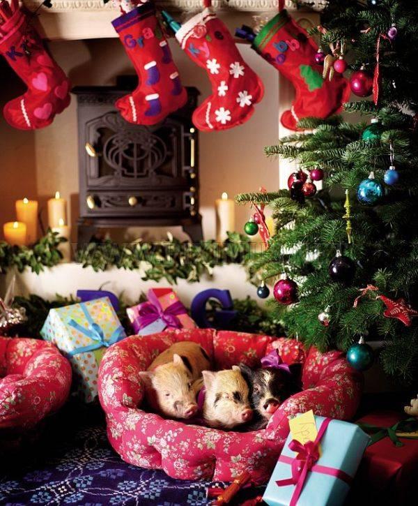 Micro Pigs and Christmas