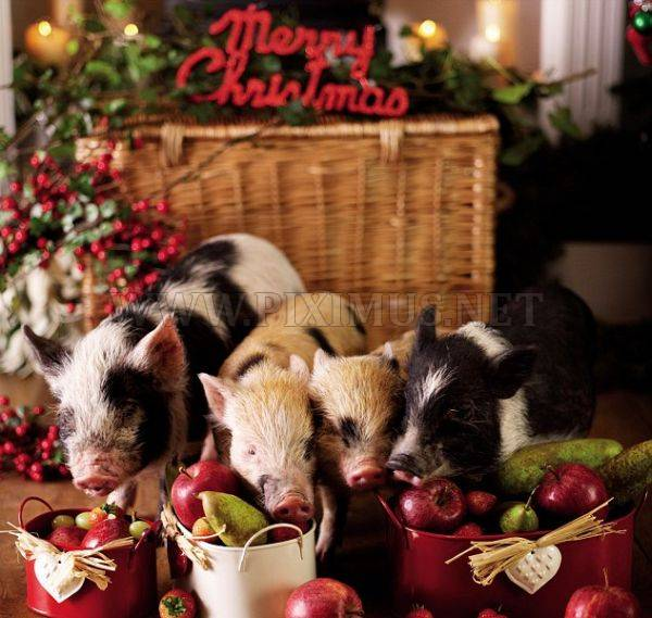 Micro Pigs and Christmas