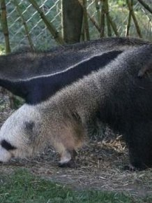 Giant Anteater Legs Look Like Pandas