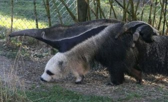 Giant Anteater Legs Look Like Pandas