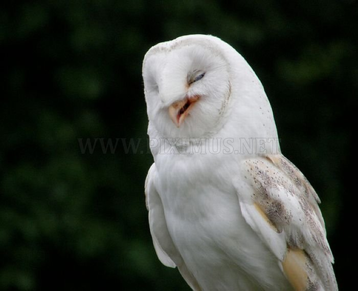 Laughing Owls