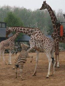 Giraffes Kicking Ass