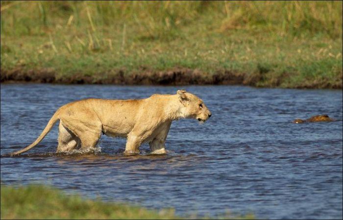 Lion Vs Croc Animals