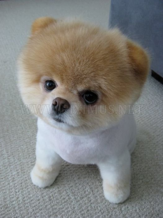 Boo. Everybody Likes This Dog