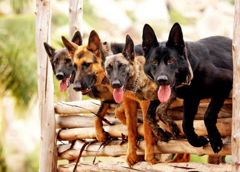 Dogs commandos