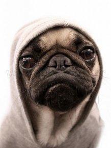 Pug Thugs