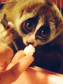 Cute Lemur Eating Popcorn