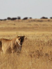 Road Crossing Trouble for Wild Lioness