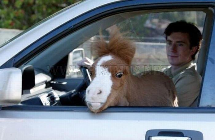 Charming Miniature Horse Koda