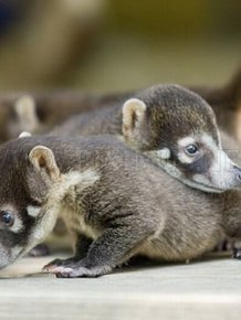 Cute Baby Snookum Bears