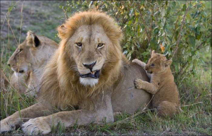 Lion Cubs Meet Their Father