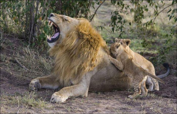 Lion Cubs Meet Their Father