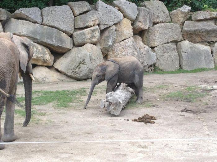 Baby Elephant Falling Over